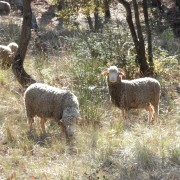 Moutons !
