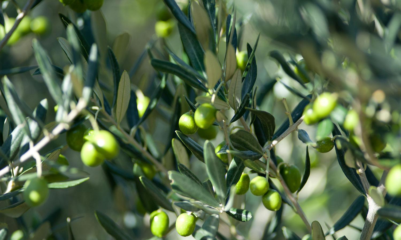 Huiles d olive de provence du ch teau de taurenne for Huile d olive salon de provence